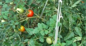 tomato0907
